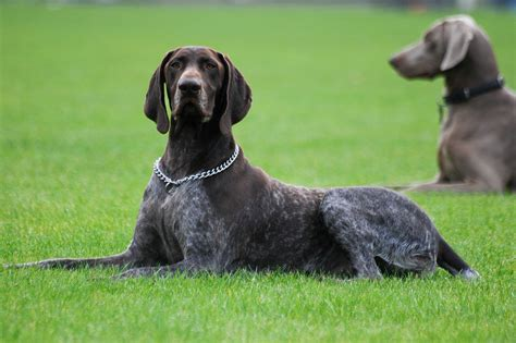 Stop German Shorthaired Pointer Shedding by Top 10 Best Dogs For Bird Herepup
