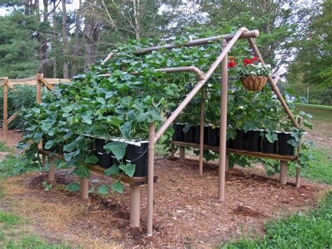 growing cucumbers on a trellis grow 100 more food in half the space theprepperproject