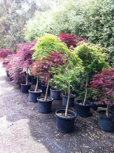 trees pots and japanese maple trees on