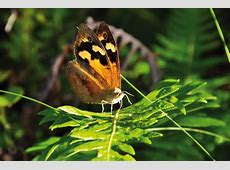 Butterfly Behaviour Link to Warming Australasian Science