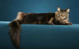 maine coon cat for maine coon cat information august 2013