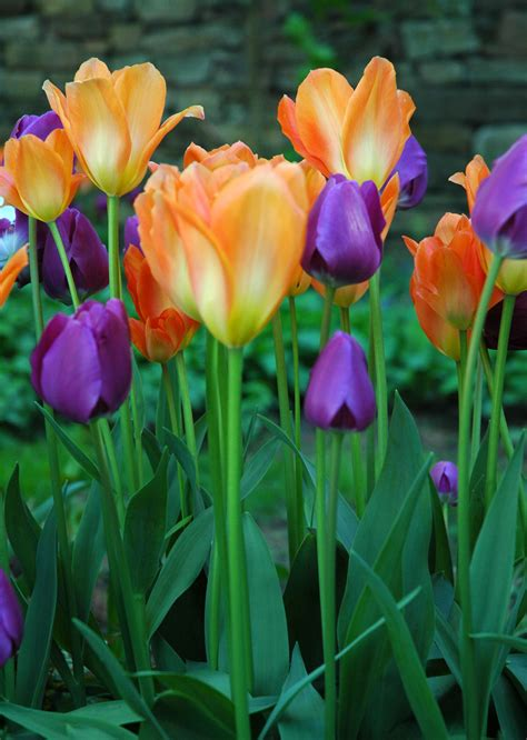 home design articles purple and orange tulips vertical up