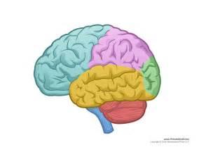 brain diagram blank color tim 39 s printables