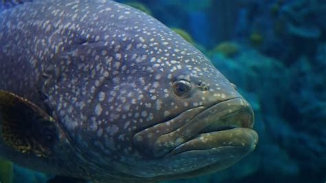 grouper hd giant spotted fish brown cod bumblebee clip epinephelus lanceolatus known shutterstock close footage queensland