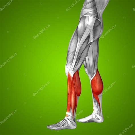 3d bein untere bein anatomie stockfoto 169 design36 83354828