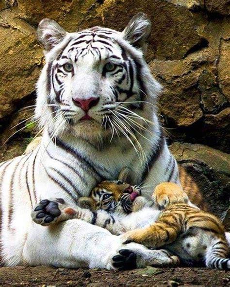 Tigers Animals Beautiful Cute