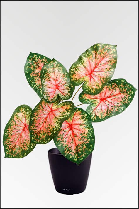 caladium knollen kaufen wir bieten ihnen eine gro 223 e auswahl an k 252 nstlichen pflanzen in unserem onlineshop zu g 252 nstigen