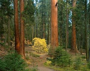 giant forest sequoia national park ca wall art With kitchen cabinets lowes with yosemite national park sticker