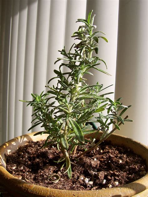 how to grow rosemary indoors gardening how to tips