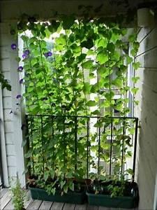 Kletterpflanzen Für Balkon : kletterpflanzen f r balkon 27 super ideen ~ Lizthompson.info Haus und Dekorationen
