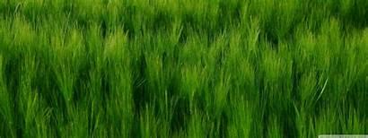 Barley Field Dual Standard