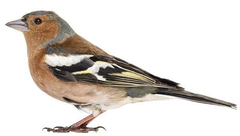 le pinson des arbres oiseaux du jardin animalerie truffaut conseils mangeoires nichoirs et