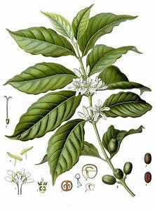 Bau Der Pflanze : kaffee pflanze wikipedia ~ Lizthompson.info Haus und Dekorationen