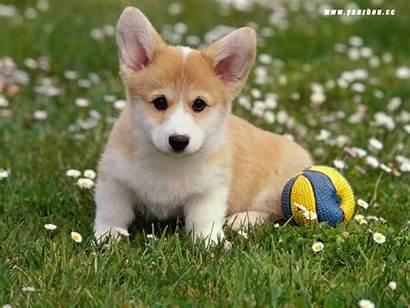 Puppy Dogs Puppies Dog Fanpop Corgi Pups