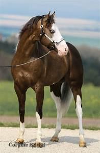 sooty palomino paint horse | Horses - Painted | Pinterest