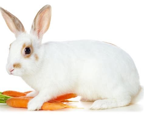 Cool Baby Animal Wallpapers All About Animal Wildlife Cute White Rabbit Hd Wallpapers 2012