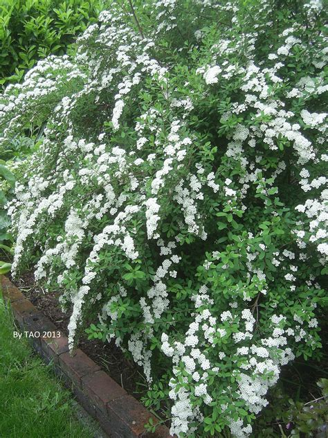 white flowering shrubs meanwhile in my backyard the adopted ones blog
