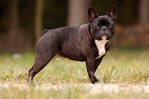 Futter Für Französische Bulldoggen Welpen