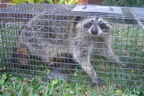 How To Catch A Raccoon In My Backyard most effective methods to get rid of raccoons in your yard