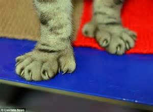 cats with toes the cat with five toes pet with digits is returned