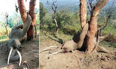 tragic   elephant trapped   tree trunk  india