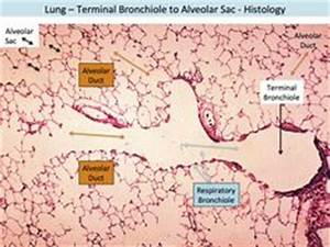 lung histology labeled - bronchiole, alveolar duct ...