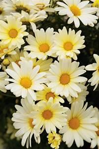 Vanilla Butterf... Daisy