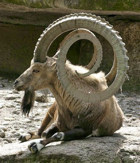 The Most Unusual And Unique Shapes Of Goat Horns Animals