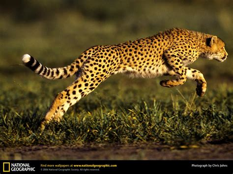 Cheetah Leaping Through The Air