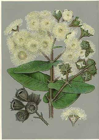 angophora hispida wikipedia