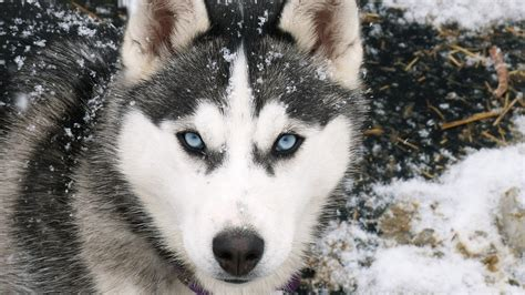 Hd Wallpapers Animals 1366x768 - animals dogs canine siberian husky 1366x768 wallpaper high