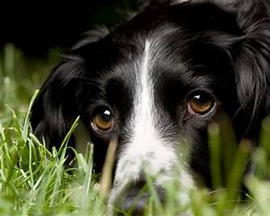 18 best Springer spaniel border collie mix images on ...