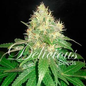 Northern Light Blue   Feminized Cannabis Seeds   Delicious ...