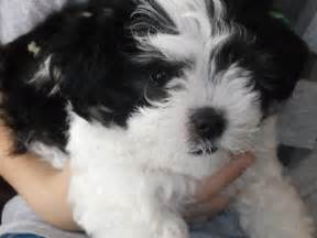 sale maltese  shih tzu puppy girl  left geelong