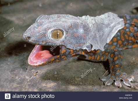 Crested Gecko Shedding Signs by Molting Tokay Gecko Gekko Gecko Sri Lanka Stock Photo