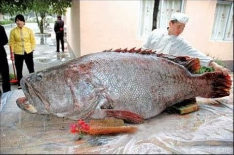 grouper caught largest ever giant huge fish freshwater pacific china goliath lb monster pound golaith biggest record coast fishes records