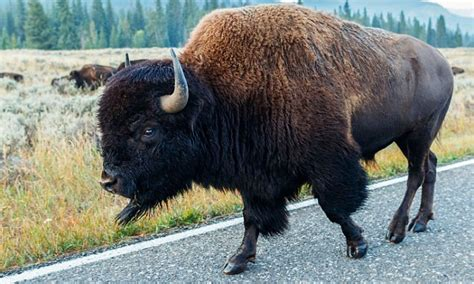 bison gores woman  yellowstone national parks