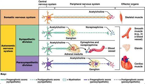 Best 20+ Autonomic Nervous System Ideas On Pinterest