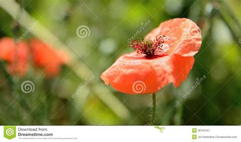 poppy bloom time top 28 poppy bloom time poppy bloom royalty free stock image image 10413446 poppy in bloom
