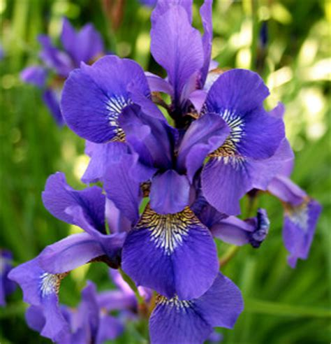 do irises need sun blue orchid blog a blog about bonsai flowers landscaping and flowers