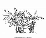 Plantation Banana Tree Sketch Vector Hand Drawn sketch template