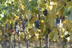 Achat Pied De Vigne Raisin De Table : pied de vigne achat et choix d 39 un pied de vigne ooreka ~ Nature-et-papiers.com Idées de Décoration