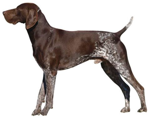 My Corso Is Shedding A Lot by German Shorthaired Pointer Information Facts Pictures