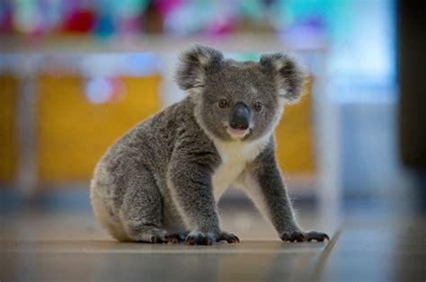 Australia Can No Longer Ignore Its Koala Crisis