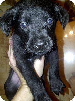 charleston sc boykin spaniel meet ziti  pet  adoption