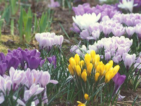 crocus pictures crocus vernus dutch crocus go botany