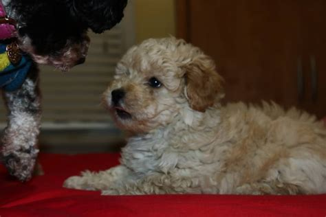 Westie X Toy Poodle Male Puppy For Sale Nov Th  Paradise Puppies