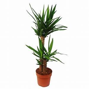 Yucca Palme Winterhart : yucca palme palmlilie 2 runde st mme ca 80 hoch ~ A.2002-acura-tl-radio.info Haus und Dekorationen