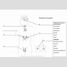 Endocrine Glands And Hormones Body Diagram Worksheet By Ailishm  Teaching Resources