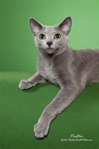 Cat Russian Blue Kittens for Sale